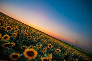 Sunflowers (CC BY-NC 2.0) Nikos Koutoulas